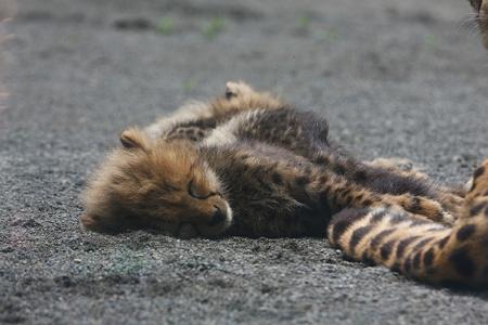 多摩動物公園110603-チーターの赤ちゃん-17