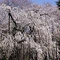 Photos: 弘法寺の桜