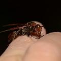 写真: スズメバチ科 キボシアシナガバチ♀