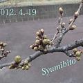 Photos: 2012.4.19 サクラ