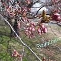 Photos: 2012.4.21 桜