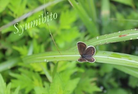 シジミチョウ 1