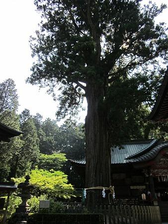 北口本宮富士浅間神社 太郎杉