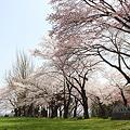 釣山公園 頂上付近の桜