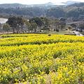 写真: 黄色の絨毯