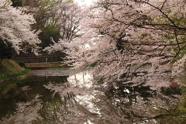 さくらの池 ☆