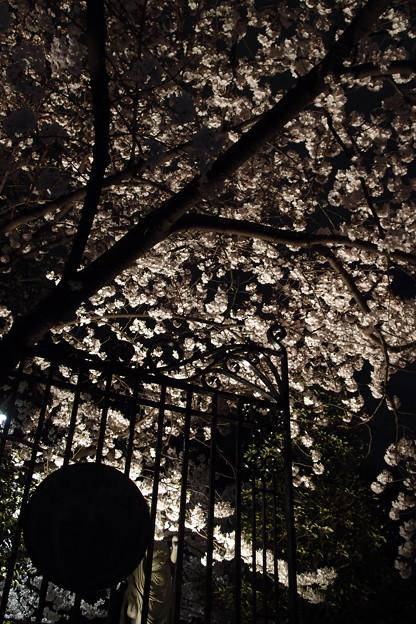Photos: 本誓寺の夜桜 04