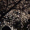 写真: 本誓寺の夜桜 04