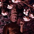 写真: 本誓寺の夜桜 06