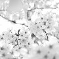 Photos: 花襲~はながさね~