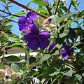 Photos: 紫紺野牡丹(シコンノボタン)