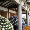 Photos: 11月1日から菊祭りだそうです