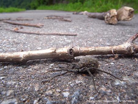キシベコモリグモ