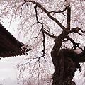 枝垂れ桜~蔵澤寺
