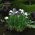 Photos: 長谷寺の花菖蒲