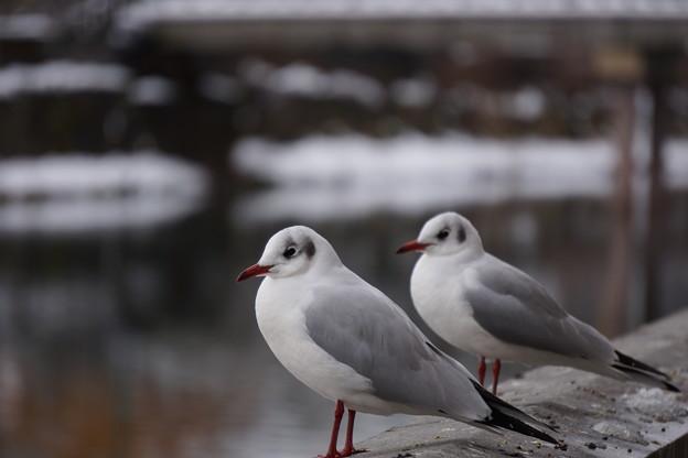 Photos: 冬のカモメ2