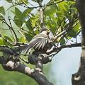 Photos: 元気なシジュウカラの幼鳥