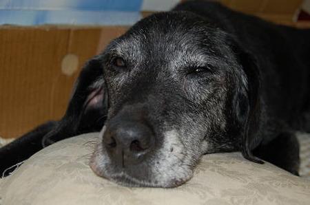 老犬 ラブラドール・レトリバー