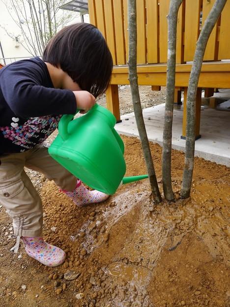 植えたばかりのアオダモに水やりしてます(^ ^)