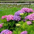 利根町 親水公園の紫陽花