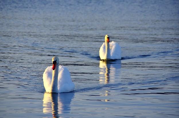 黄昏の湖 こぶ白鳥01