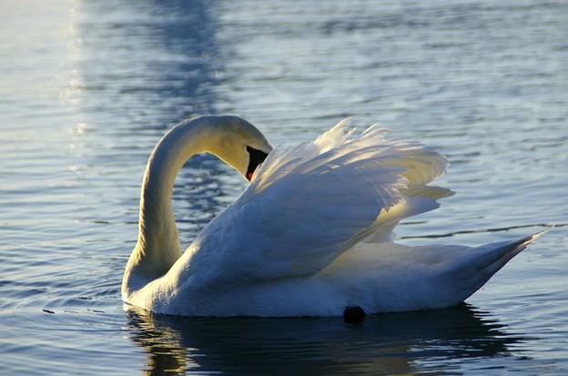 黄昏の湖 こぶ白鳥06