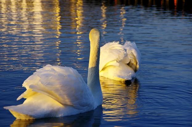 黄昏の湖 こぶ白鳥05