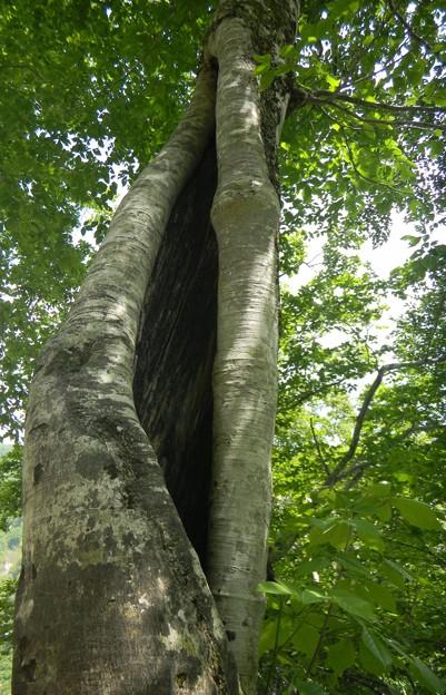 大木ぶなの生命力