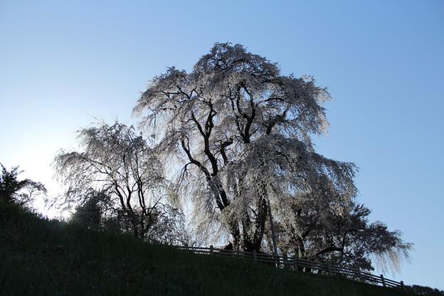 勝間の枝垂桜