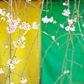 写真: 春の五色幕