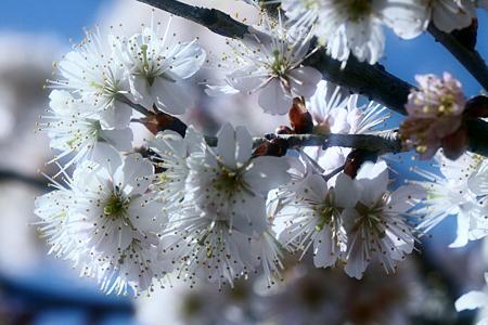 桜咲く ♪♪♪