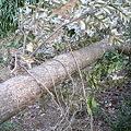 Photos: クヌギの伐採