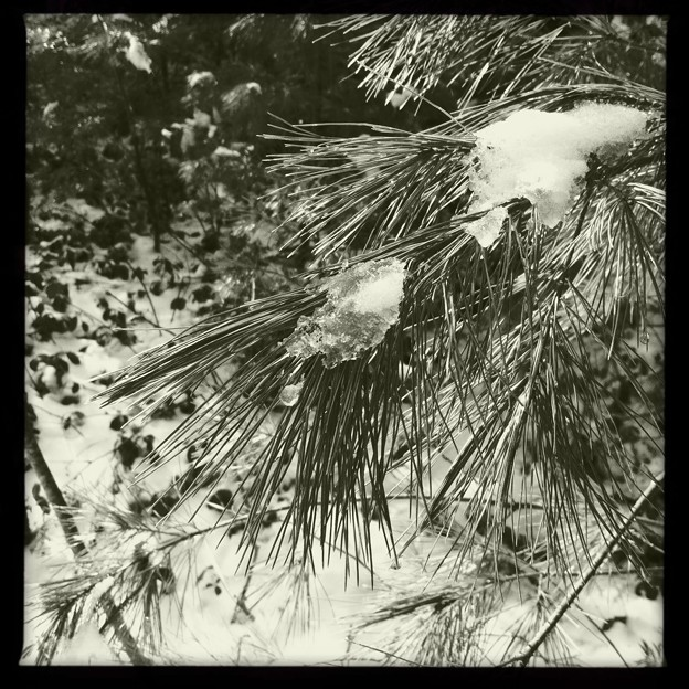 Photos: Pines with Snow