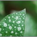 写真: A Lungwort Leaf 4-21-12