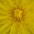 Photos: Common Dandelion