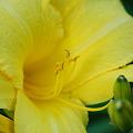 Daylily_Yellow 7-23-11