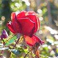 写真: 晩秋のバラ