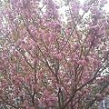 写真: 最近の朝のたのしみ 八重桜...