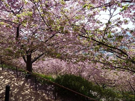 120329-松田山 河津桜 (122)