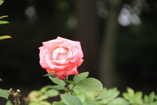 平和公園・薔薇01-12.07.09