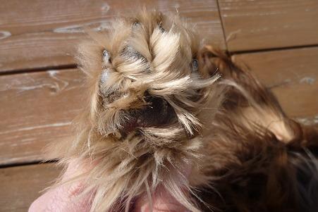 ワンコの足裏毛をカット(ビフォー) ラン