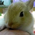写真: ミニウサギ。 8月生まれ、...