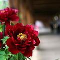 Photos: 吉備津神社回廊のボタン ♪
