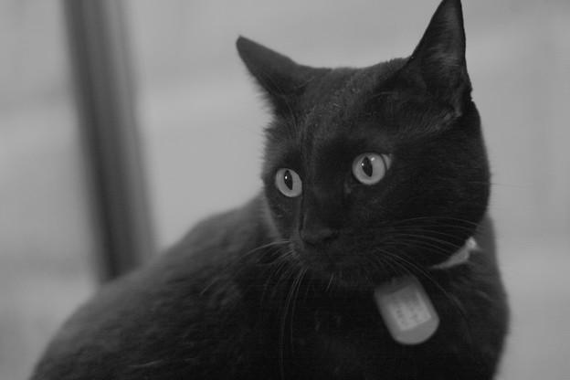 写真: 真面目な黒猫