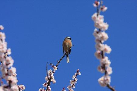 2012.03.25 和泉川 ホオジロ