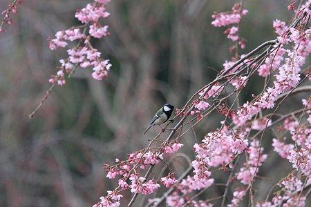 2012.04.06 和泉川 シジュウカラ