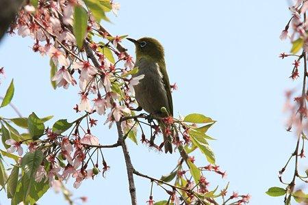 2012.04.21 和泉川 枝垂れ桜にメジロ