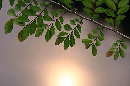 2011.06.10 和泉川 水辺の新緑と朝日