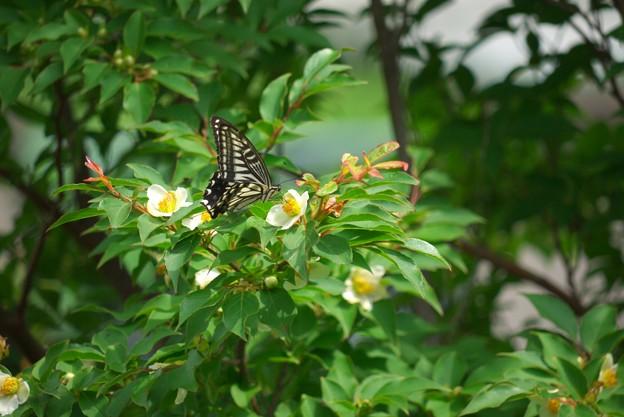 写真: 2011.06.12 山手 外交官の家  ヒメシャラにアゲハチョウ