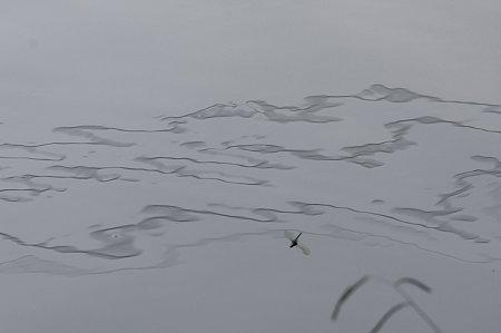 2011.07.06 和泉川 朝の水面と蜻蛉